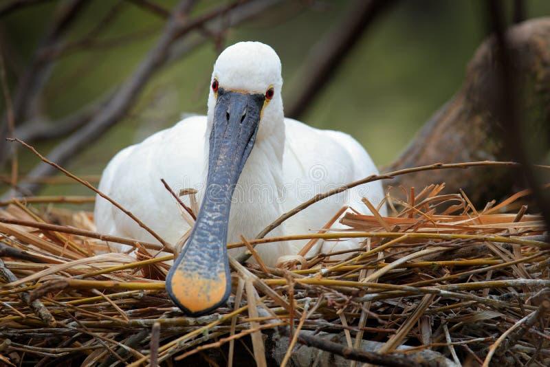 Comportamiento en el Spoonbill eurasiático de la jerarquía, leucorodia de la primavera del pájaro del Platalea, sentándose en imágenes de archivo libres de regalías