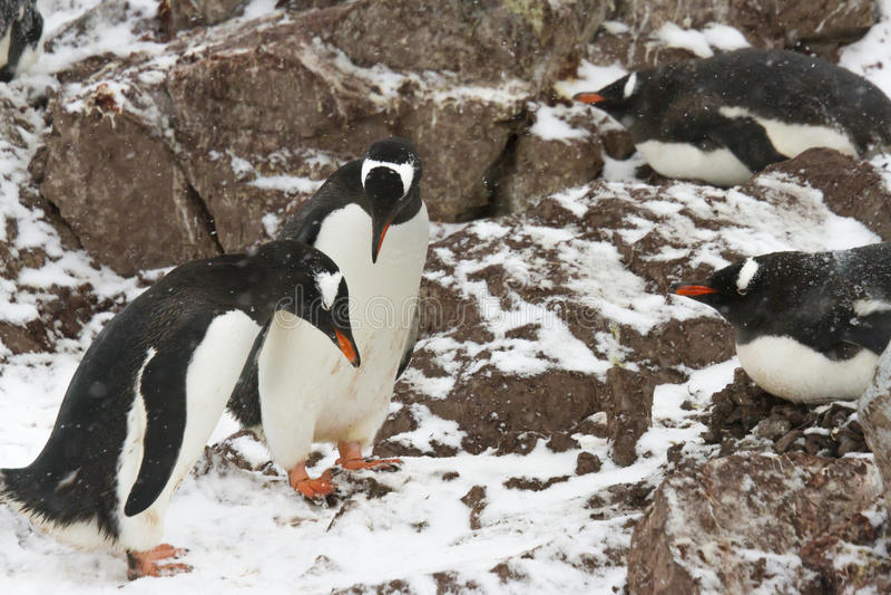 Comportamientos de acoplamiento del pingüino de Gentoo fotografía de archivo