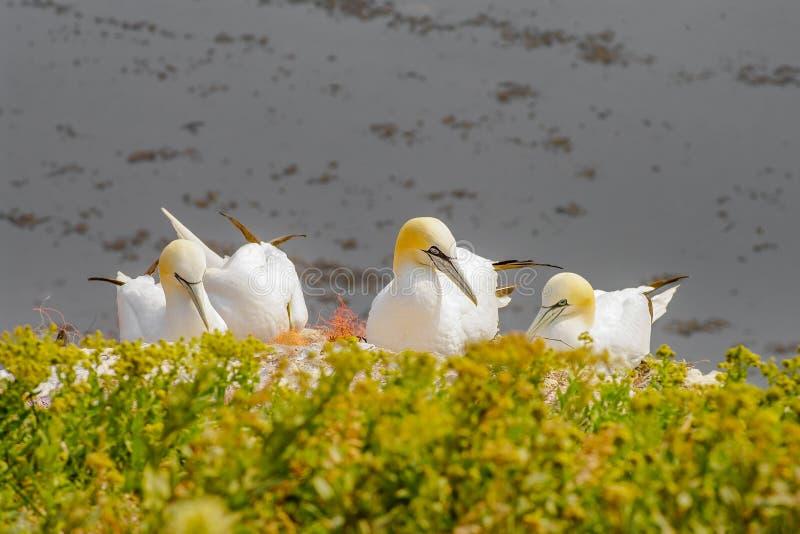 Comportement des fous de Bassan sauvages d'Atlantique nord d'emboîtement à l'île Helgol photos libres de droits