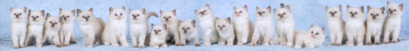 Composé de panorama des chatons de Ragdoll photo stock
