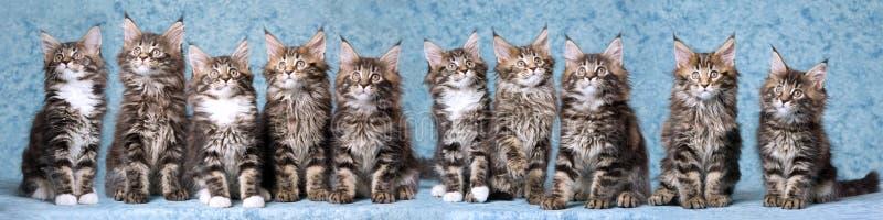 Composé de panorama des chatons de ragondin du Maine image stock