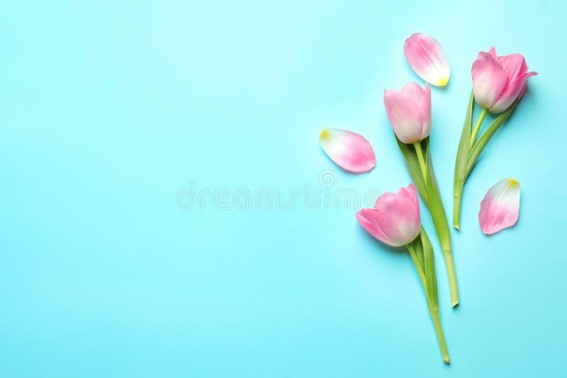 Composição colocada lisa das tulipas no fundo azul, espaço para o texto foto de stock royalty free