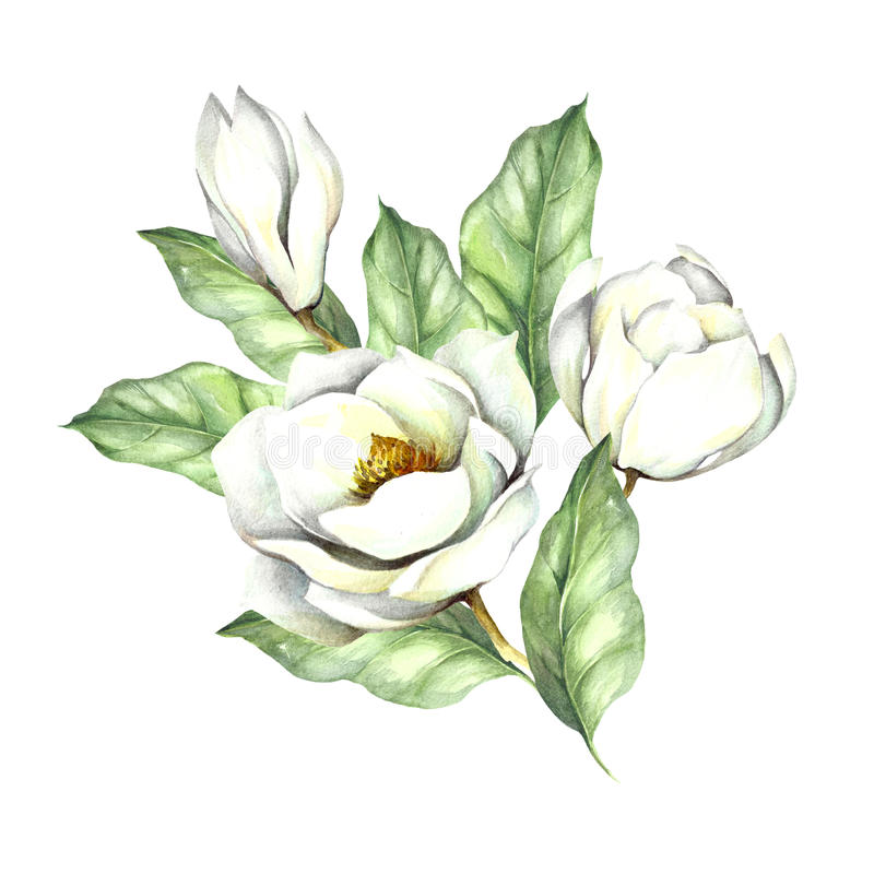 Composição com magnólia Ilustração da aquarela da tração da mão ilustração stock