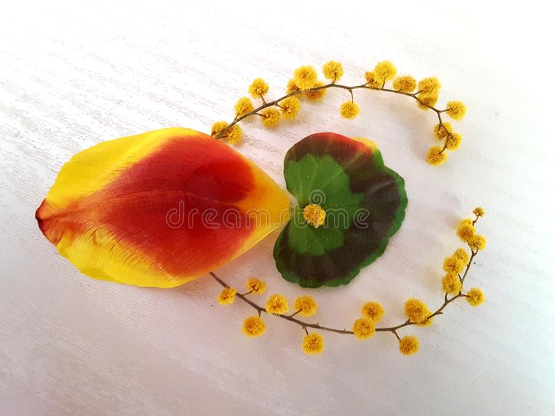 A composição da planta das flores, folhas, tulipa, ramo da mimosa fotos de stock
