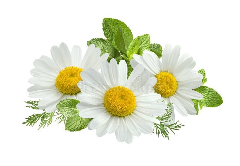 Composição das folhas de hortelã da flor da camomila isolada no branco imagens de stock