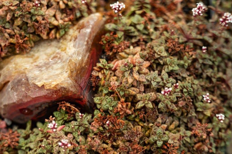 Composição das plantas carnudas com pedra foto de stock