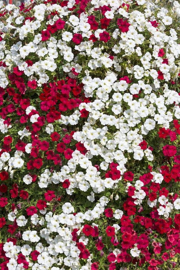 Composição de flores vermelhas e brancas do petúnia, fundo natural imagens de stock royalty free
