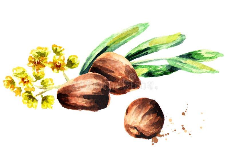 Composição do Jojoba com porcas, as folhas do verde e as flores marrons ilustração stock