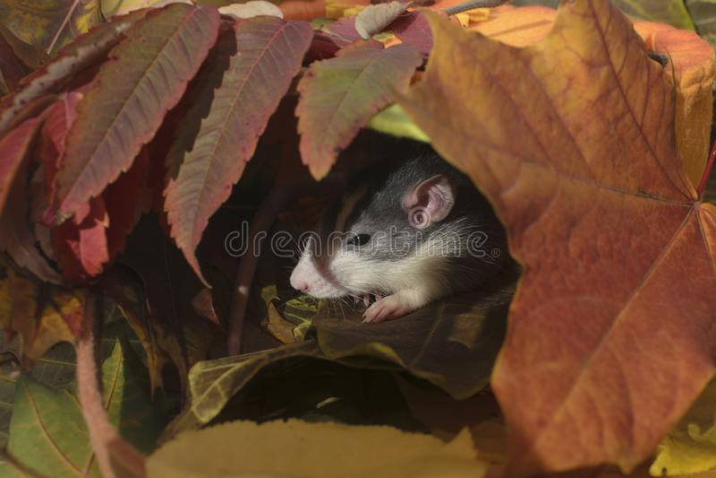 Composição do outono com um rato fotos de stock