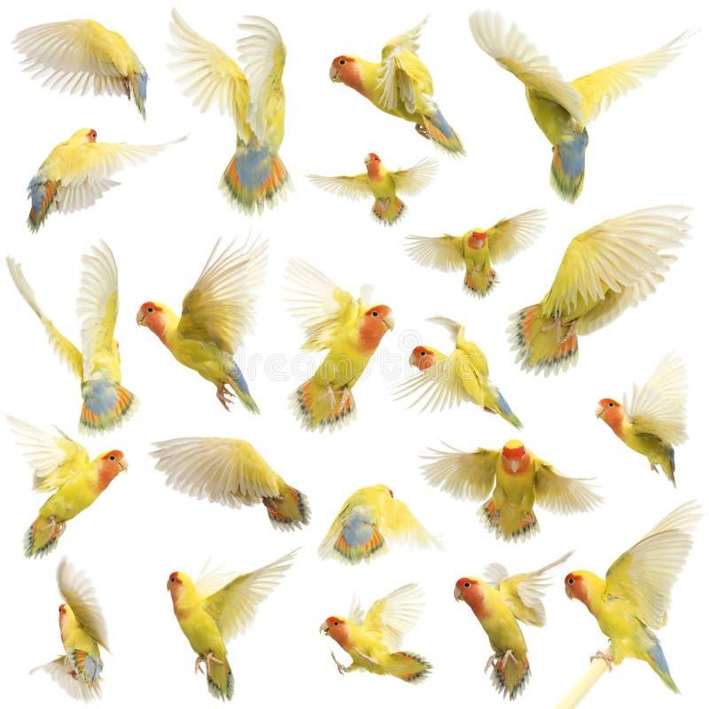 Composição do vôo Rosado-enfrentado do Lovebird fotografia de stock royalty free