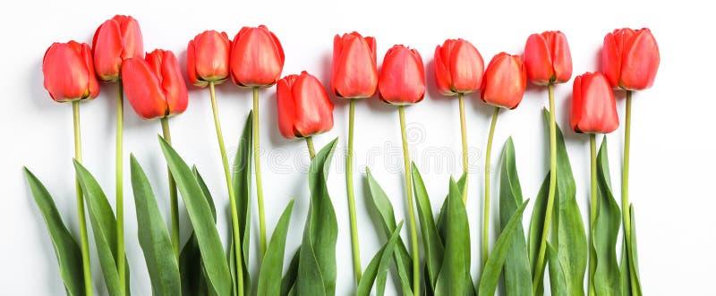 Composi??o com as tulipas vermelhas bonitas no fundo branco fotografia de stock