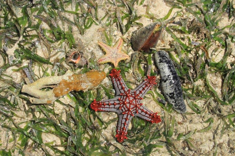 Composición de estrellas de mar y de conchas marinas en agua salada y algas del Océano Índico fotografía de archivo