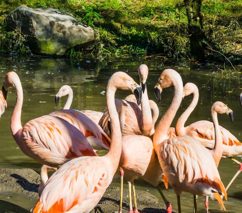 Composición de familia tropical de pájaros de tres pájaros del flamenco con sus picos que señalan junto y más flamencos en el fon fotos de archivo