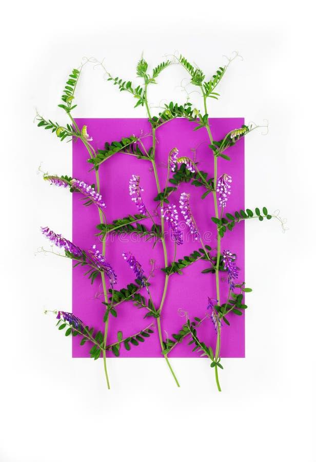 Composición de los guisantes de florecimiento del ratón de la hierba en un rectángulo púrpura en un fondo blanco, visión superior fotos de archivo