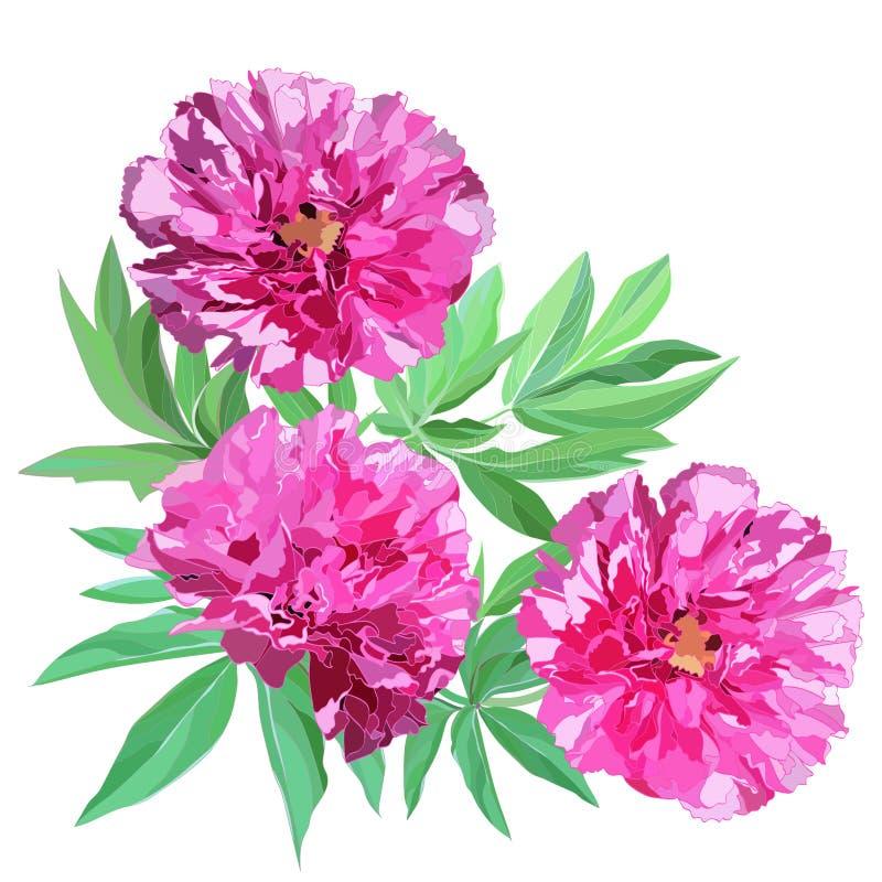 Composición de tres peonías rosadas grandes de las flores con las hojas aisladas en el fondo blanco libre illustration