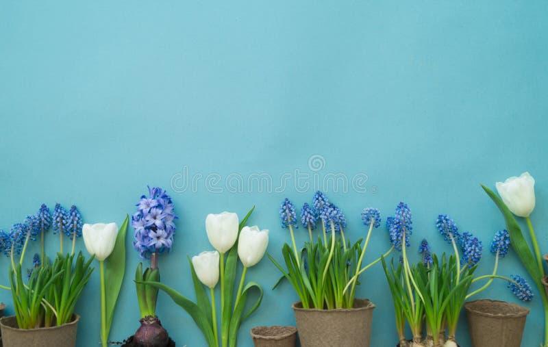 Composición decorativa de Pascua en un fondo azul Conejo blanco, tulipanes, macetas, huevos sin pintar y un árbol fotografía de archivo libre de regalías