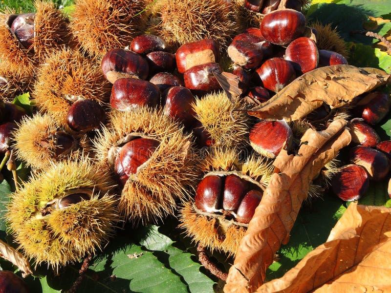 Composición del otoño de las hojas de las castañas, del erizo y de la castaña imagenes de archivo