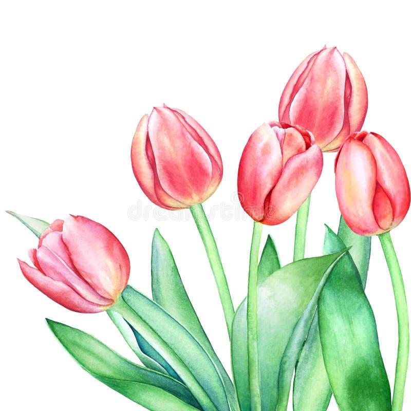 Composición florística con las flores rosadas rojas exhaustas del tulipán de la mano de la acuarela en el fondo blanco ilustración del vector