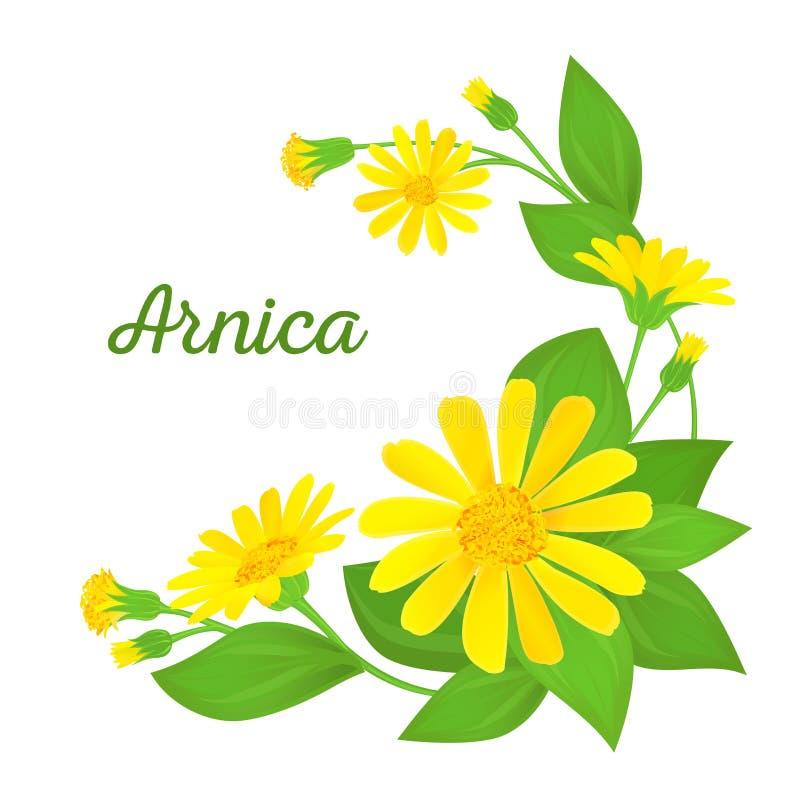 Composición floral con la planta medicinal Ramas de la árnica con las flores, los brotes y las hojas Ilustración del vector ilustración del vector