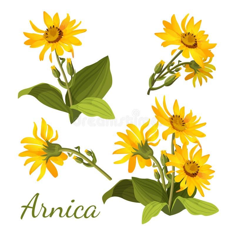 Composición floral de la árnica Sistema de flores con las hojas, los brotes y las ramas ilustración del vector