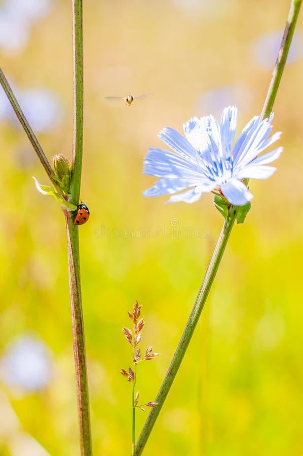 Composición macra de la mariquita negra roja que se arrastra en tronco, pequeño vuelo de Hoverfly cerca de la flor azul florecien imagen de archivo