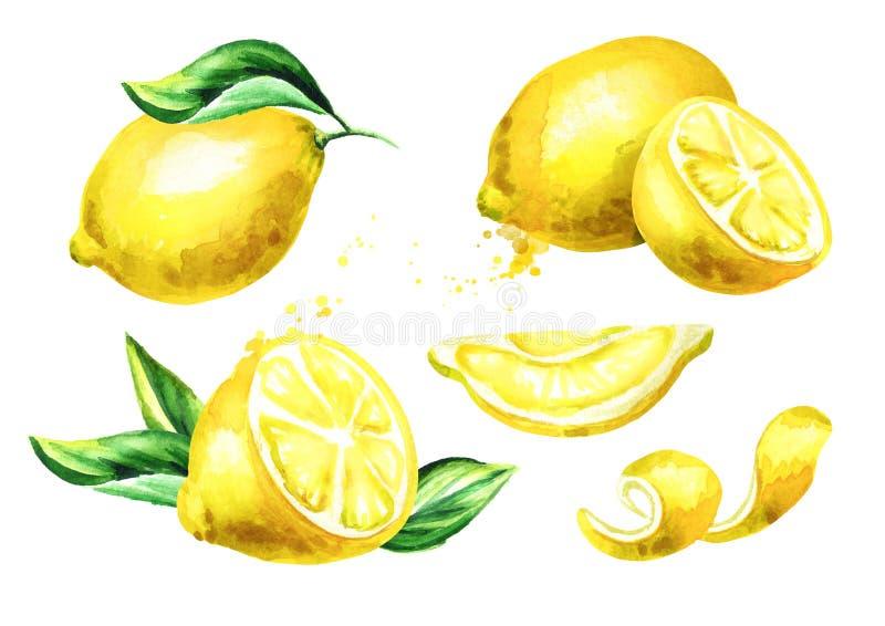 Composiciones frescas de la fruta del limón fijadas Ejemplo dibujado mano de la acuarela ilustración del vector