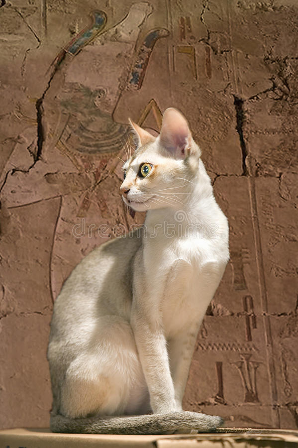 Composite image of a sacred Egyptian temple cat in an ancient room with hieroglyphics royalty free stock photos