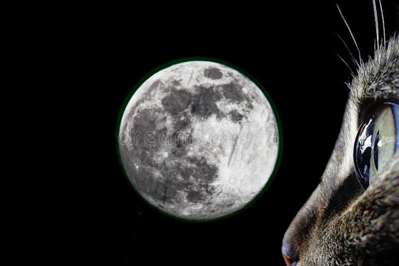 Cat Gazing at Super Flower Moon royalty free stock images
