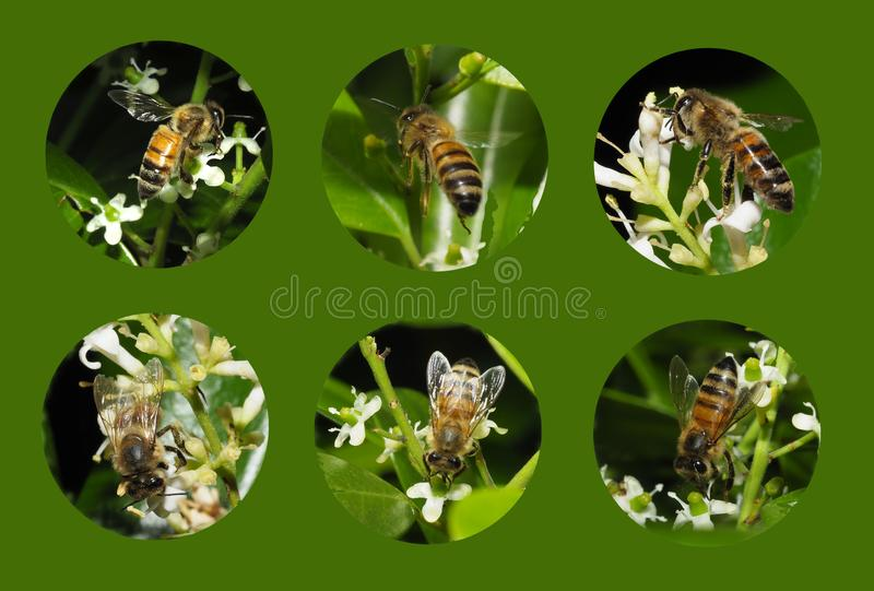 Six Individual Closeup Images of Honey Bees on a Green Background royalty free stock photography