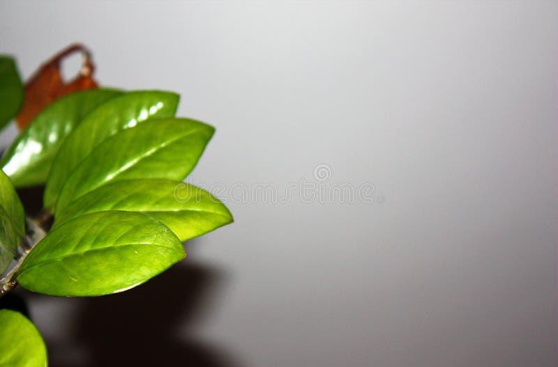 Composition avec les branches vertes, feuilles sur l'espace blanc de copie de fond image libre de droits