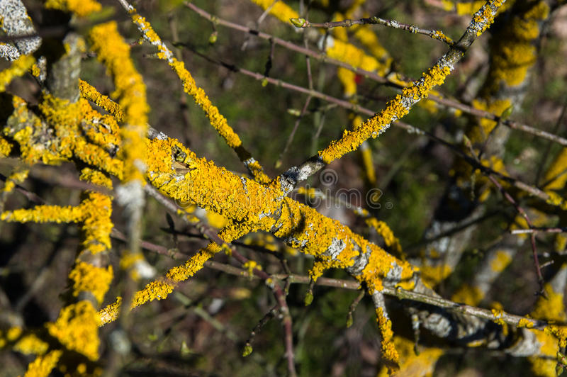 The composition of the branches tree with yellow lichen. The composition of the branches of the tree with yellow lichen stock photography