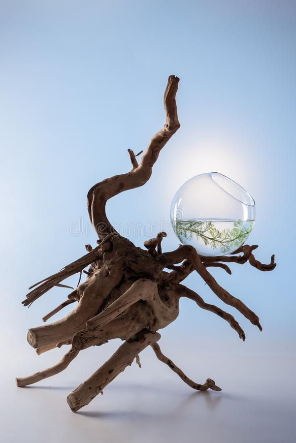 Composition with branchy driftwood and a plant in a glass bowl royalty free stock photos