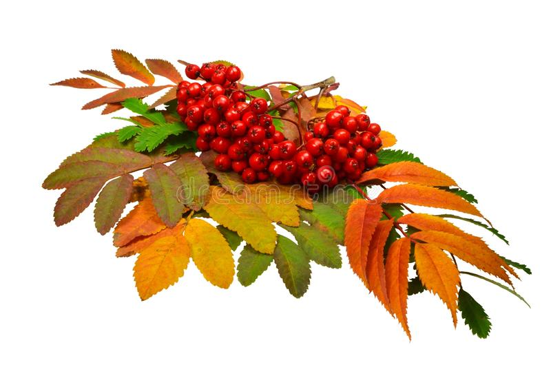 Composition from bright multi-colored autumn fallen leaves and a torn cluster of mountain ash with red ripe berries. Isolated on white background stock photo