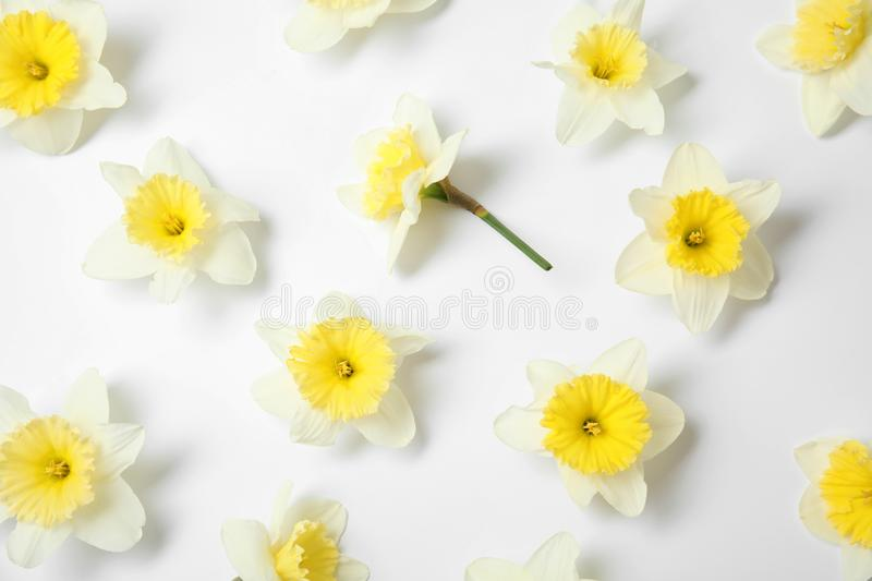 Composition with daffodils on white background. Fresh spring flowers. Composition with daffodils on white background, top view. Fresh spring flowers stock photography