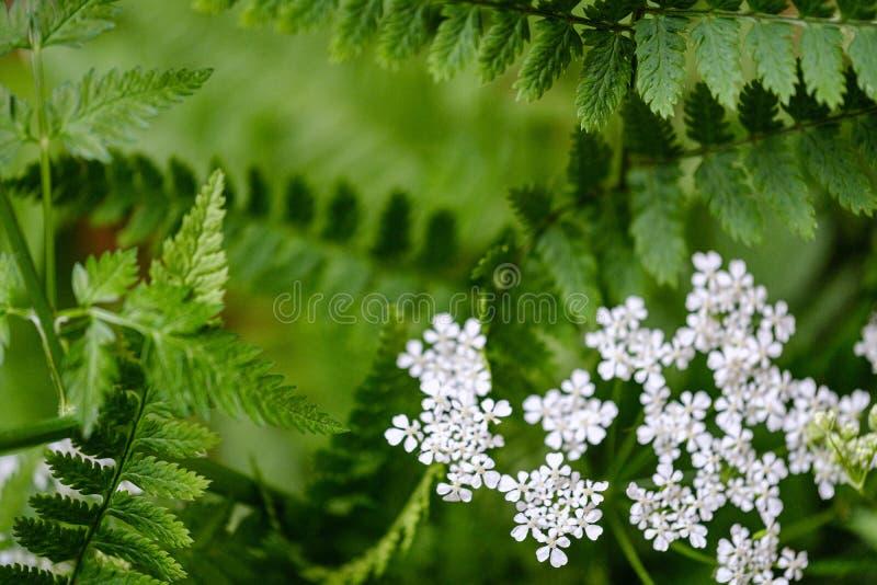 composition de petites fleurs blanches et feuille de foug?re sur le fond vert de tache floue image stock