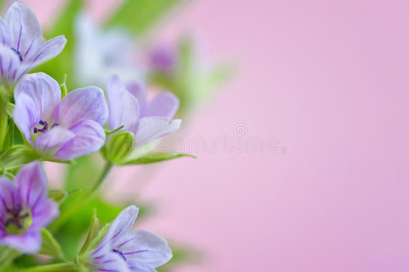 Composition with delicate light purple flowers with copy space on a violet background. Closeup of purple flowers. Space for text stock images