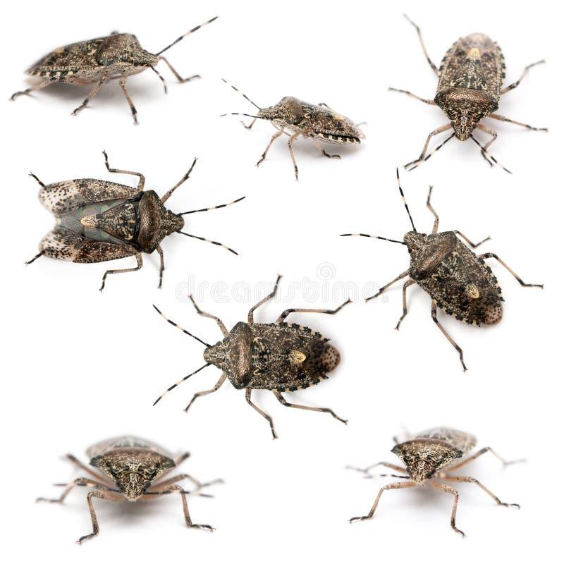 Composition des anomalies européennes de puanteur, Rhaphigaster photos stock