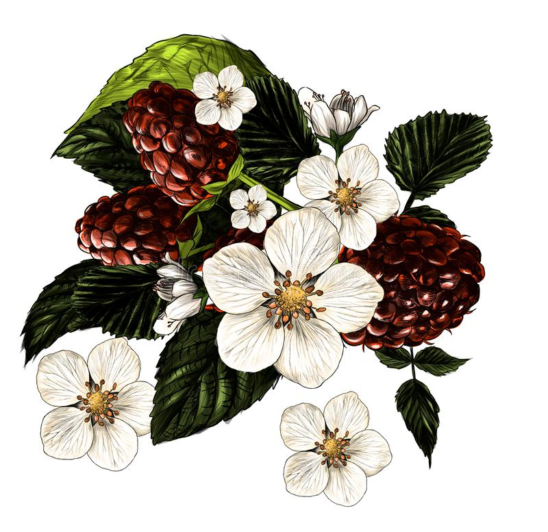 Composition des branches de framboise, des fleurs et des baies mûres rassemblées en un bouquet illustration de vecteur