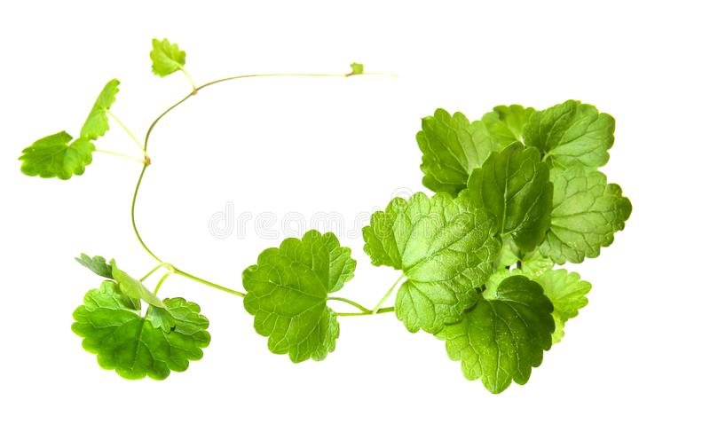 Composition of fresh green leaves of the ground cover. Isolated on white stock images