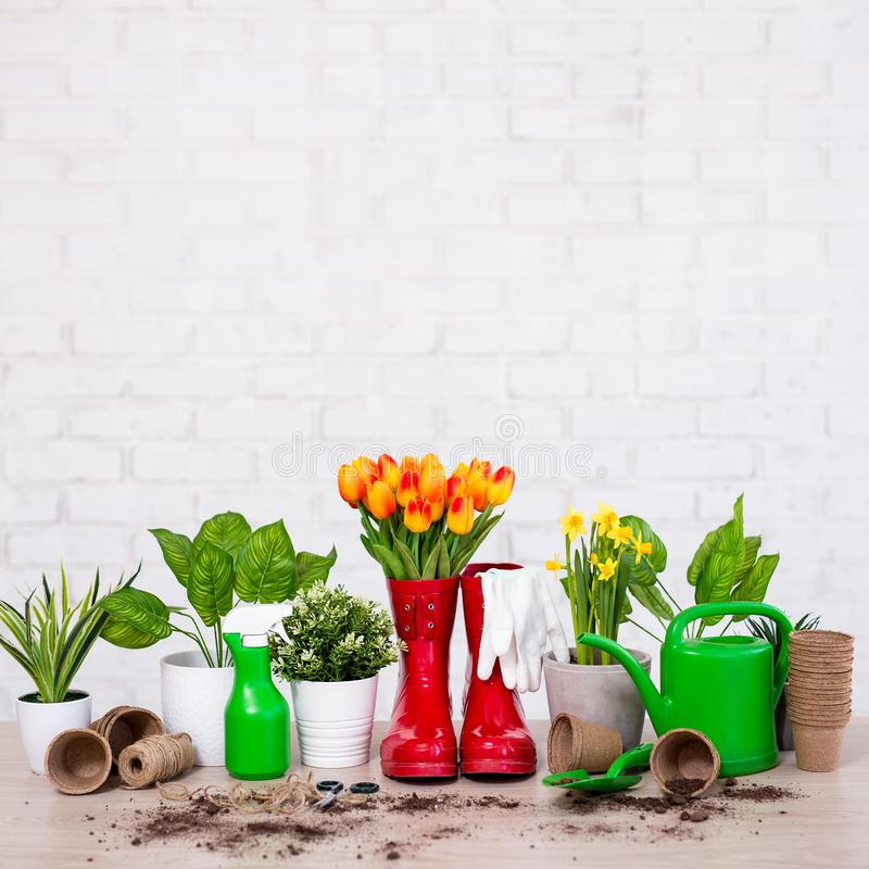 Composition of gardening tools, potted plants and spring flowers on wooden table over white background royalty free stock image