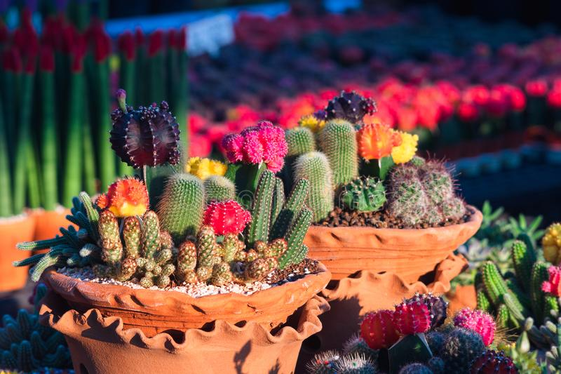 Composition of mini beautiful arrangements of Cactus and Succulents in clay flower pots in flower shop. Setting of small garden royalty free stock photos