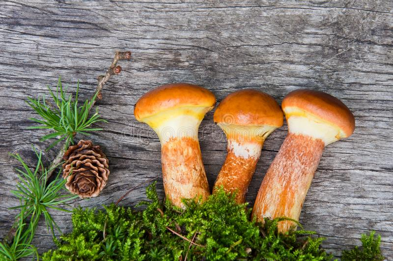 Composition of mushrooms Suillus elegans on a wooden table stock image