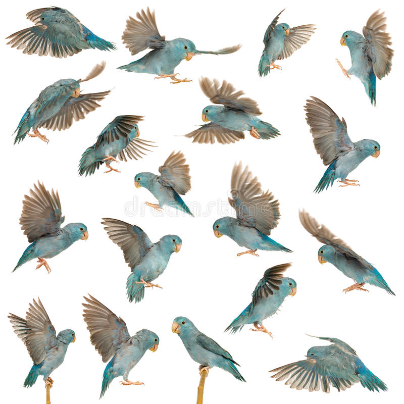Composition of Pacific Parrotlet, Forpus coelestis, flying. Against white background stock image