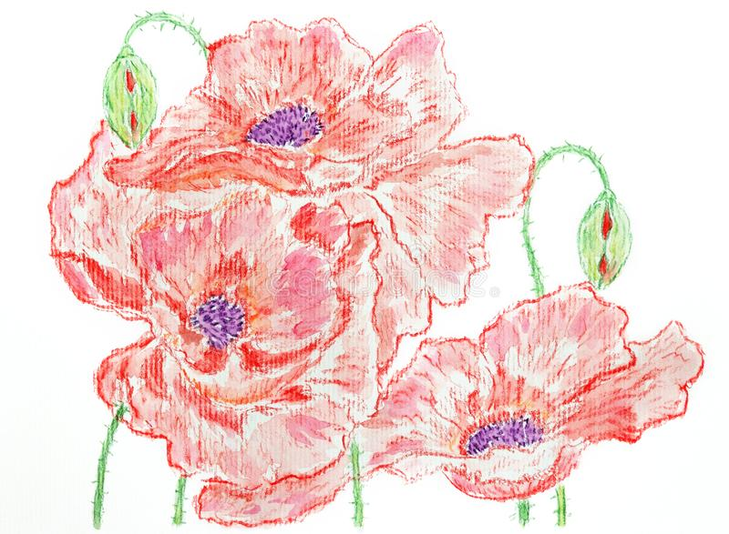 Composition of red poppies Watercolor pencils. Hand drawing vector illustration