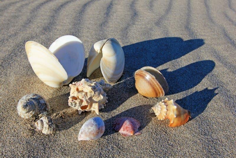 Seashells on the beach of Bahia De Los Angeles, Baja California, Mexico. Composition of seashells on the beach of Bahia De Los Angeles, Baja California, Mexico stock images