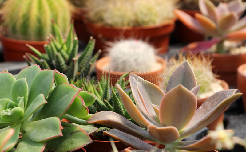 Composition with succulents and catcus. Detailed view of a composition with succulents and catcus grown inside a greenhouse, landscape cut stock photo
