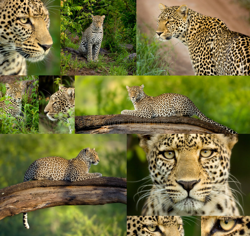 Composition of ten photos of a Leopard in the Sere royalty free stock images