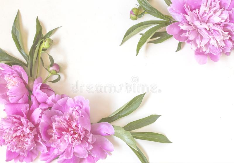 Compositions of pink peony flowers and green leaves on a white background. Flat bed, top view,with copy space royalty free stock images