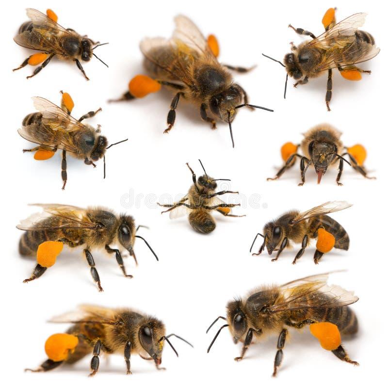 Composizione degli api occidentali del miele fotografia stock libera da diritti