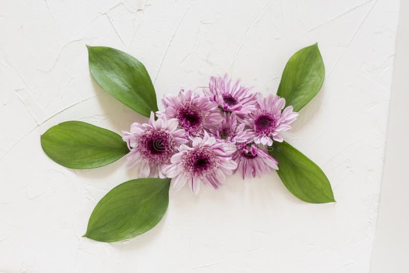 Composizione dei fiori porpora del crisantemo sulla disposizione piana del fondo bianco immagini stock libere da diritti
